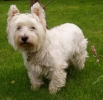 Westhajlendsk� teri�r (West Highland White Terrier)